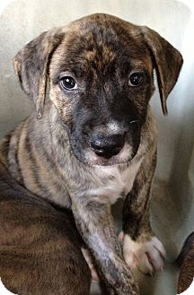 Pit Bull Terrier Mix Puppy for adoption in Gainesville, Florida - Betty