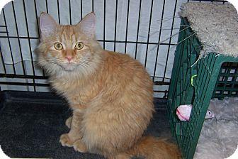 Domestic Mediumhair Cat for adoption in Pueblo West, Colorado - Giorgio