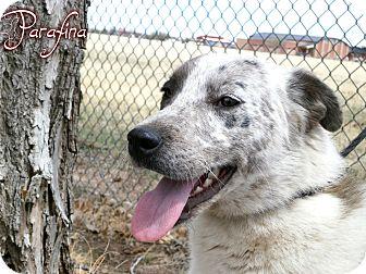 Australian Cattle Dog/Australian Shepherd Mix Dog for adoption in Estancia, New Mexico - Parafina