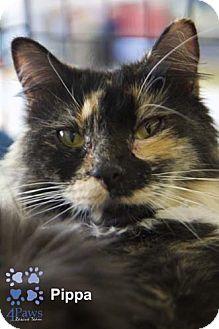 Calico Cat for adoption in Merrifield, Virginia - Pippa
