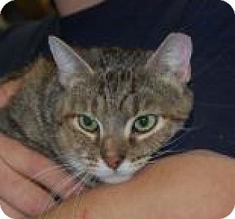Domestic Shorthair Cat for adoption in Brooklyn, New York - Kris