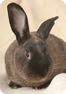 American Sable for adoption in Chicago, Illinois - Sabina