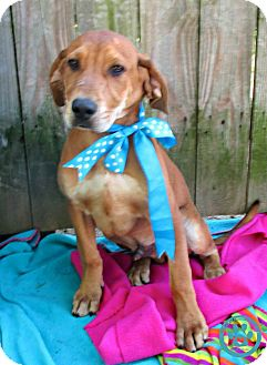 Labrador Retriever/Beagle Mix Puppy for adoption in Kimberton, Pennsylvania - Lonnie