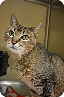 Domestic Shorthair Cat for adoption in Worcester, Massachusetts - Sammi
