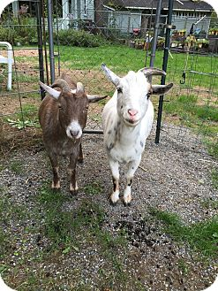 Goat for adoption in Maple Valley, Washington - Rookie & Ryder