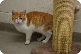 Domestic Shorthair Cat for adoption in Bucyrus, Ohio - Georgie Foreman