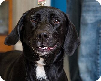 Labrador Retriever/Coonhound (Unknown Type) Mix Puppy for adoption in Somerset, Pennsylvania - Lucky