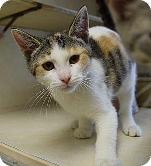 Domestic Shorthair Kitten for adoption in Bucyrus, Ohio - Belle