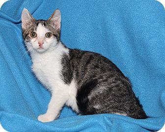 Domestic Shorthair Kitten for adoption in Marietta, Ohio - Leo (Neutered)
