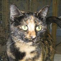 Domestic Shorthair Cat for adoption in Mobile, Alabama - TuTu