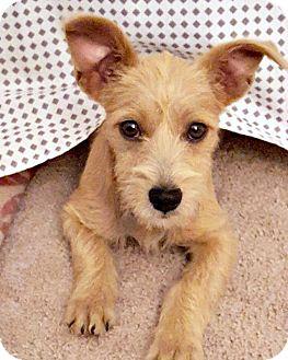 Wirehaired Fox Terrier Mix Puppy for adoption in McKinney, Texas - Paris