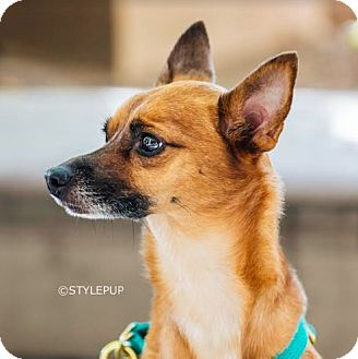 Miniature Pinscher/Chihuahua Mix Dog for adoption in New York, New York - Paco