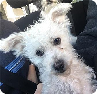 Maltese/Poodle (Miniature) Mix Dog for adoption in Encino, California - Popcorn
