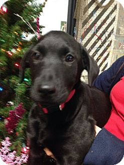 Labrador Retriever Mix Puppy for adoption in Chattanooga, Tennessee - Coffee Bean