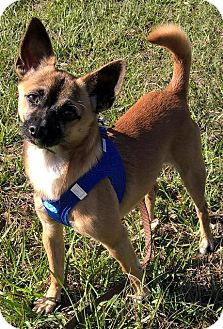 Chihuahua Dog for adoption in Orlando, Florida - Kingston