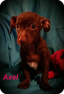 Chihuahua Mix Puppy for adoption in Buffalo, New York - Axel