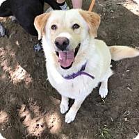 Adopt A Pet :: Lemon - Cashiers, NC