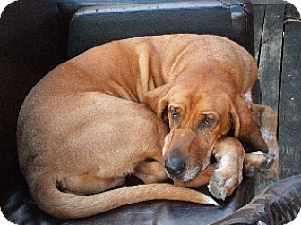 Bloodhound/English (Redtick) Coonhound Mix Dog for adoption in Ontario, Ontario - Sweet Barry Adopted