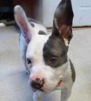 American Staffordshire Terrier Mix Dog for adoption in Franklin, North Carolina - AURORA