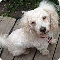 Adopt A Pet :: Peter - West Bloomfield, MI
