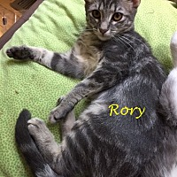 Adopt A Pet :: Rory (Aurora) - Flint HIll, VA
