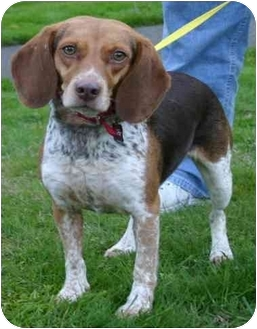 Beagle Dog for adoption in Portland, Oregon - Lucy