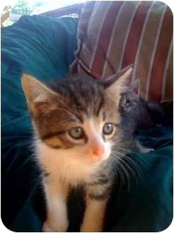 American Shorthair Kitten for adoption in Evansville, Indiana - Pooh