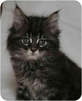 Domestic Mediumhair Kitten for adoption in Cincinnati, Ohio - Thor