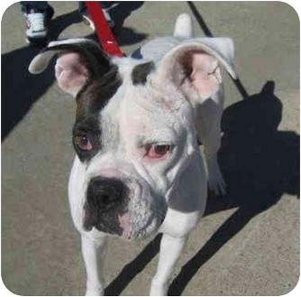 Boxer Dog for adoption in Owensboro, Kentucky - Adrian