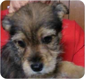 Yorkie, Yorkshire Terrier Mix Puppy for adoption in Rochester, New Hampshire - Oscar