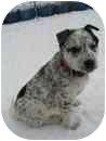 Australian Cattle Dog/Husky Mix Puppy for adoption in Saskatoon, Saskatchewan - Sydney