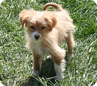 Terrier (Unknown Type, Medium) Mix Puppy for adoption in Westfield, Indiana - Sammy