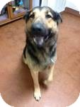 German Shepherd Dog Mix Dog for adoption in East Hartford, Connecticut - Clyde ADOPTION PENDING