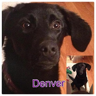 Labrador Retriever/German Shepherd Dog Mix Puppy for adoption in Garden City, Michigan - Denver