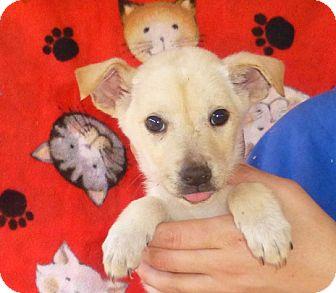Sheltie, Shetland Sheepdog Mix Puppy for adoption in Oviedo, Florida - Tommy