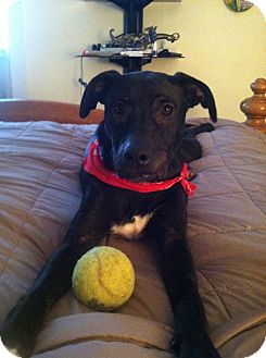 Labrador Retriever Mix Puppy for adoption in Freeport, New York - Otis