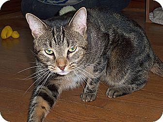 Domestic Shorthair Cat for adoption in Salem, Ohio - Limbo