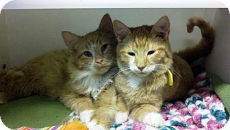 Domestic Shorthair Kitten for adoption in Bellingham, Washington - Roll