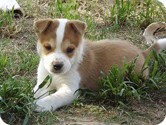 Australian Shepherd/Labrador Retriever Mix Puppy for adoption in Phoenix, Arizona - Freckles