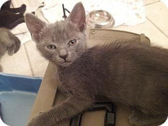 Domestic Shorthair Kitten for adoption in Gainesville, Florida - Prada