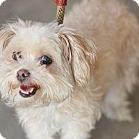 Adopt A Pet :: Sandy - Canoga Park, CA
