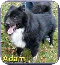 Norwegian Elkhound Mix Dog for adoption in Aldie, Virginia - Adam