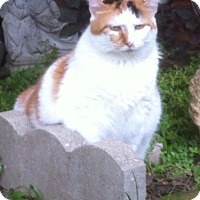 Calico Cat for adoption in Indianapolis, Indiana - Sweetie Pie