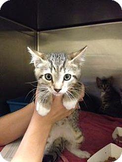 Domestic Shorthair Kitten for adoption in Danbury, Connecticut - Jefferson