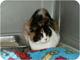 Domestic Shorthair Cat for adoption in Mason City, Iowa - Princess