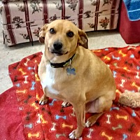 Feist Mix Dog for adoption in richmond, Virginia - Nilla