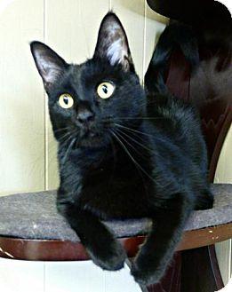 Domestic Shorthair Cat for adoption in Sauk Rapids, Minnesota - Merril
