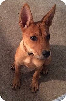 Shepherd (Unknown Type)/Basenji Mix Puppy for adoption in Hagerstown, Maryland - PEANUT