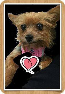 Yorkie, Yorkshire Terrier Dog for adoption in West Palm Beach, Florida - Cybill