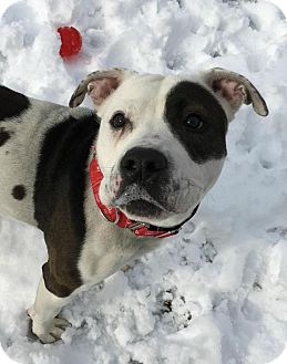 American Pit Bull Terrier Mix Dog for adoption in Cranston, Rhode Island - PRINCESS PETUNIA